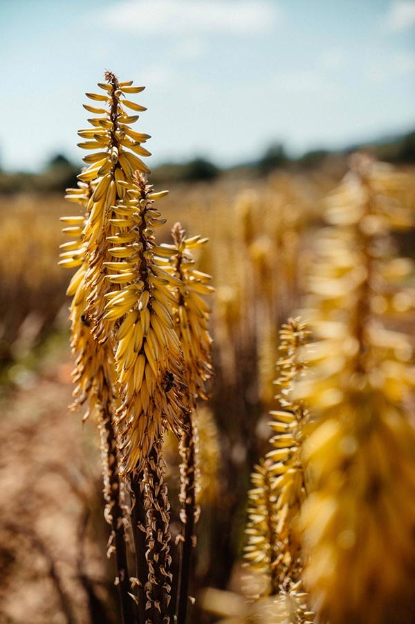 Aloe Vera Pflanze auf der Aloe Farm auf Mallorca